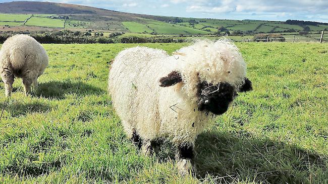 Diese Walliser Schafe Blöken Englisch 1815ch