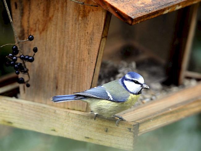 Vögeln Vor Der Webcam